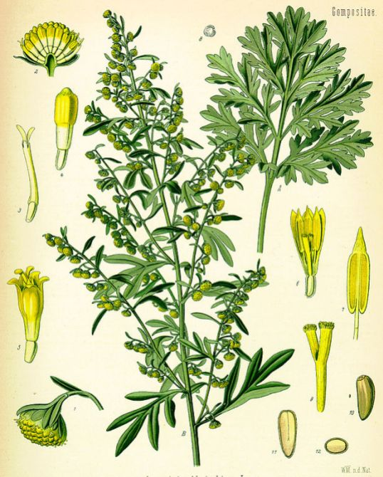 617px-Artemisia_absinthium_(K�hler)