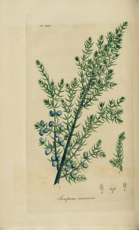 Juniperus_communis,_Common_juniper_(3543483554)