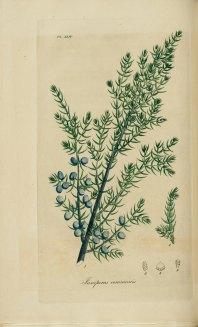 Juniperus_communis,_Common_juniper_(3543483554)